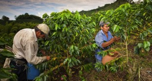 brasile caffè crisi