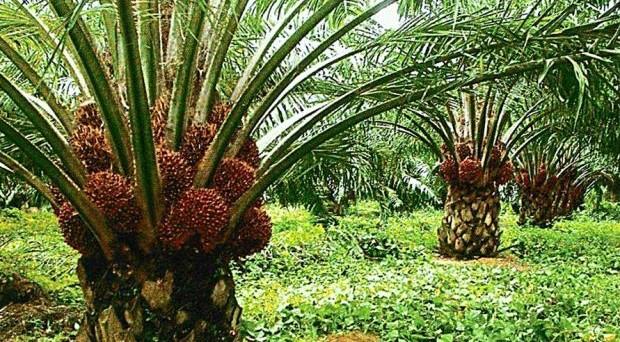 Olio di palma, è addio nelle confezioni dei prodotti: ecco spiegati i motivi.