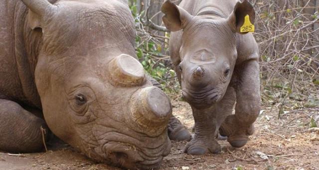 Corni di rinoceronte, dal Sudafrica arriva il via libera alla vendita. Cosa ne sarà del Pianeta Terra? Il denaro è più importante della vita?