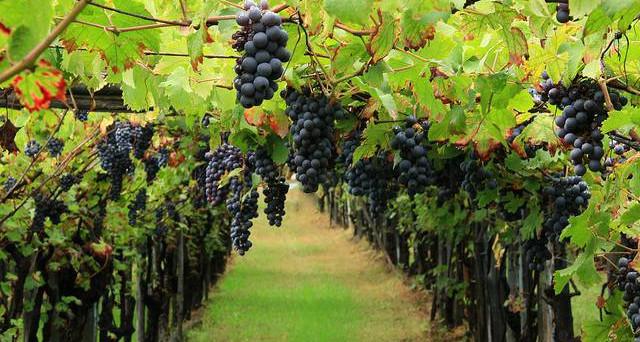 Il made in Italy si rafforza anche grazie al vino. Siamo secondi in Europa dopo la Francia per esportazioni e la Sicilia primeggia per vigneti.