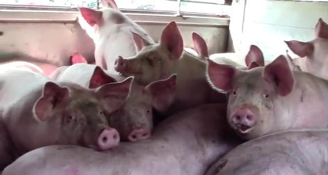 Carne suina, Italia settima per capi macellati. I consumi di carne sono molto cambiati negli ultimi 20 anni in Europa, dove la produzione di maiali risulta maggiore al fabbisogno.