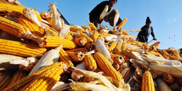 Il mais in Cina risente delle politiche ambientali del governo, che punta a sganciarsi dal crescente fabbisogno di petrolio.