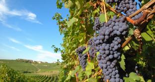 Produzione vino ai minimi da 50 anni nel mondo