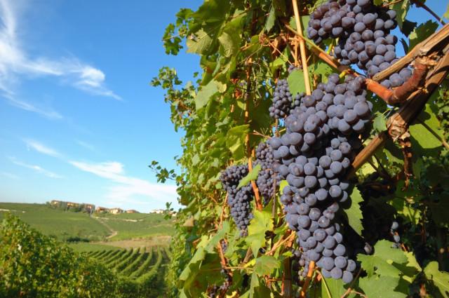 Come cambierà il vino a causa del clima impazzito: allarme per i produttori
