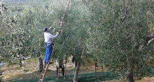Olio tunisino, la minaccia all'Italia