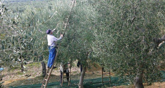 Olio tunisino, boom di importazioni in Italia. E il governo dice