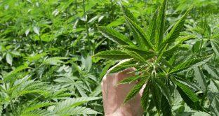 Boom delle azioni legate alla marijuana in borsa