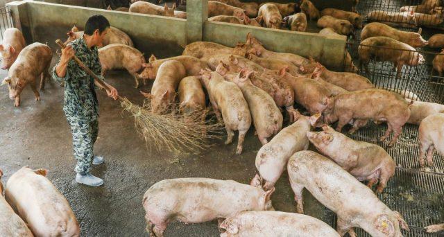 Allevamenti di maiali decimati in Cina, e non solo, a causa della peste suina. I prezzi della carne stanno esplodendo e con conseguenze anche su salumi e speck.