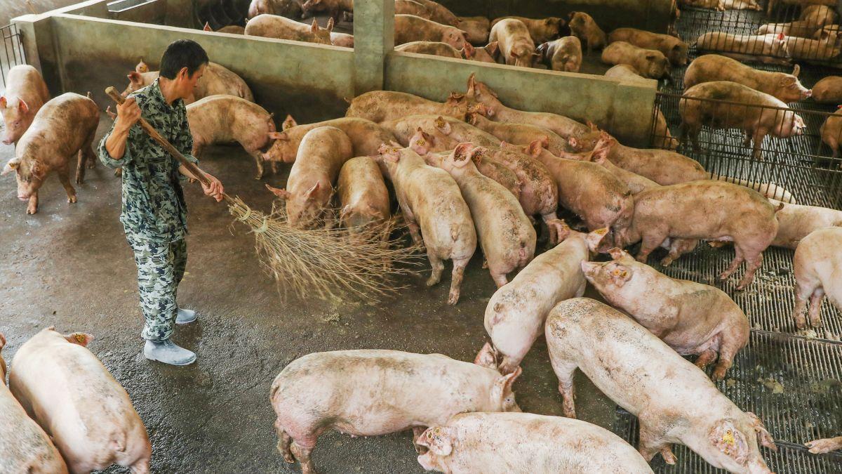 La peste suina fa strage di maiali nel mondo e i prezzi alimentari  s'impennano
