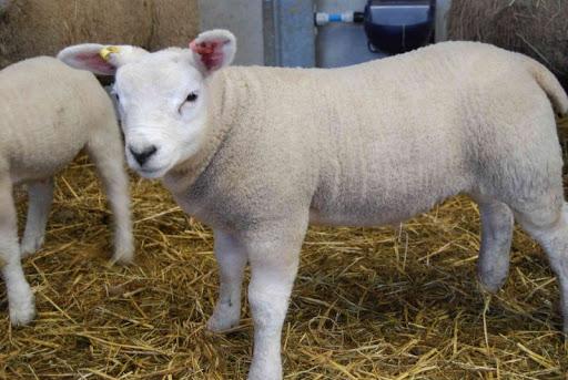 Una pregiata pecora Texel venduta per quasi mezzo milione di dollari, la notizia ha fatto il giro del mondo.