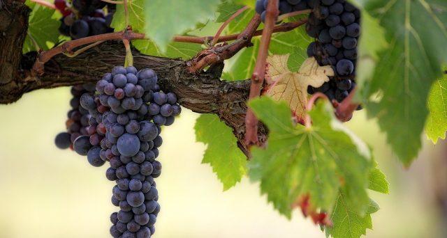 Settori vitivinicolo e olivicolo: firmati i decreti di sostegno