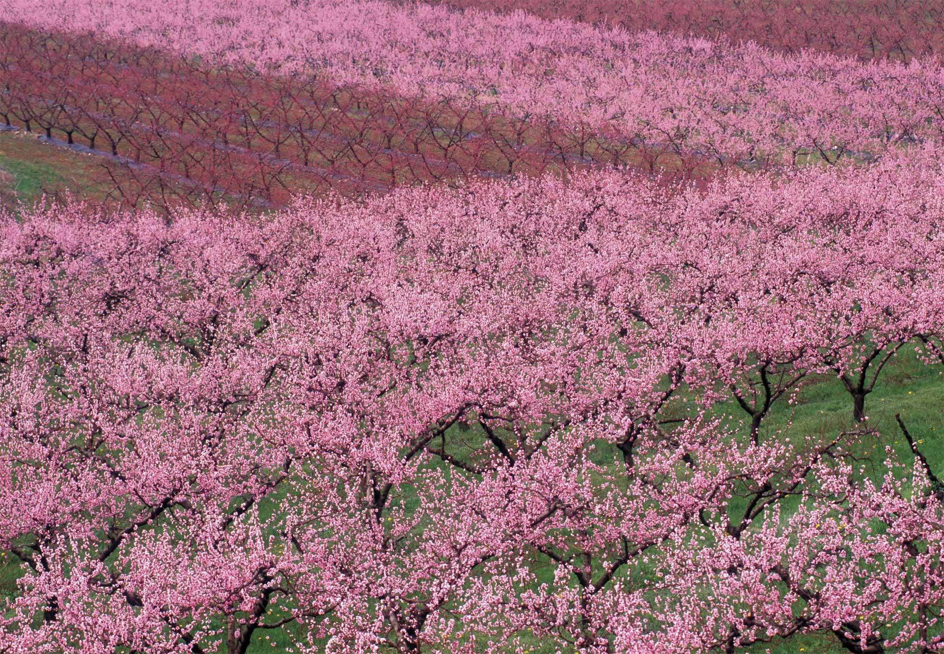 353_Flora%20del%20Veneto_Peschi%20in%20fiore.jpg