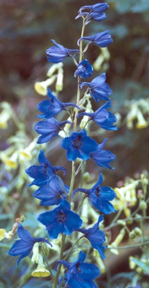 blue-delphinium-flowers.jpg