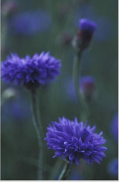 centaurea.jpg