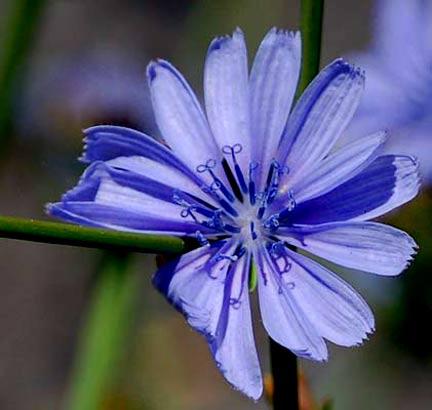cicoria,fiore.jpg