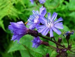 cicoria,fiore3.jpg