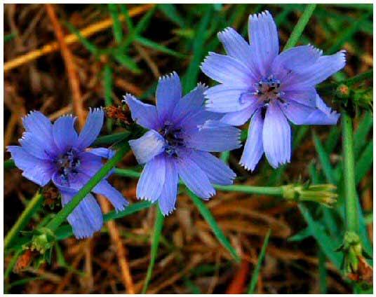 cicoria,-fiori_2.jpg