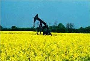 colza-oil.jpg