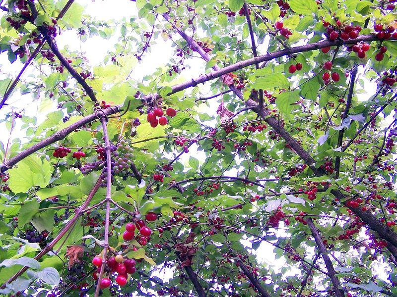 Cornus_mas_Cornelian Cherry.jpg
