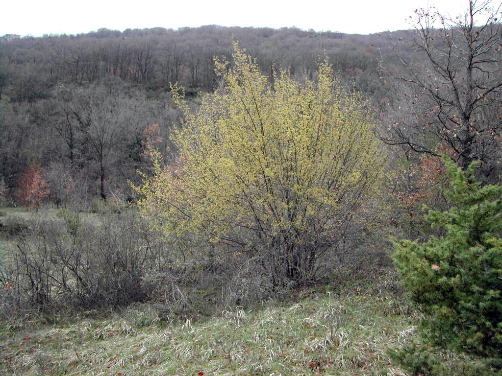 corus mas tree.jpg