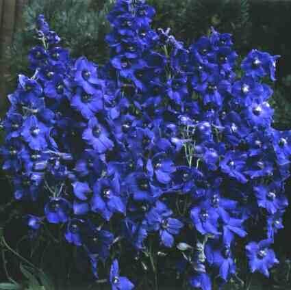 Delphinium belladonna.jpg