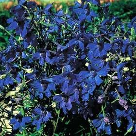 Delphinium (Larkspur) chinensis Gentian.jpg