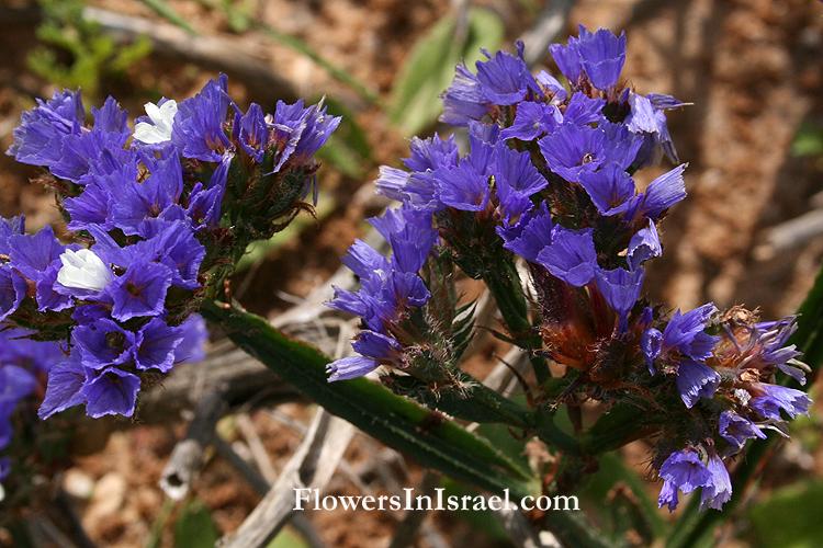 Limonium_sinuatum_flower.jpg