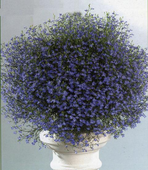 Lobelia blue.jpg