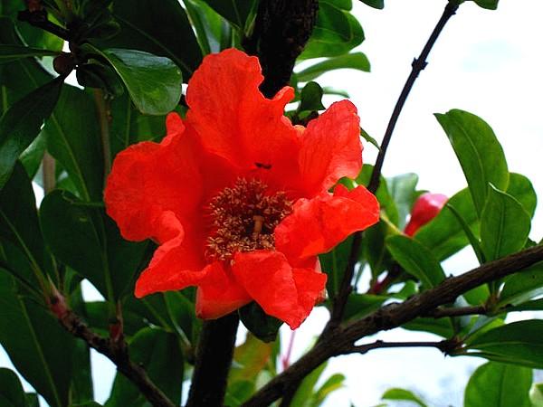 melograno fiore.jpg