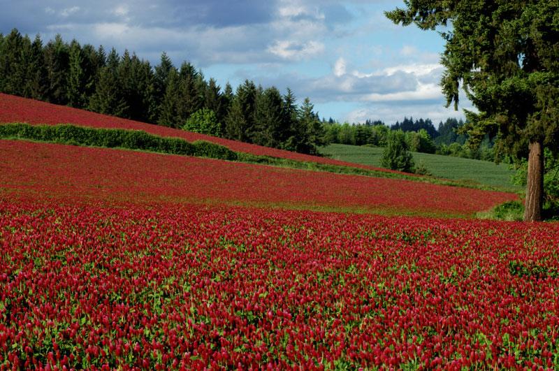 red-clover-2.jpg