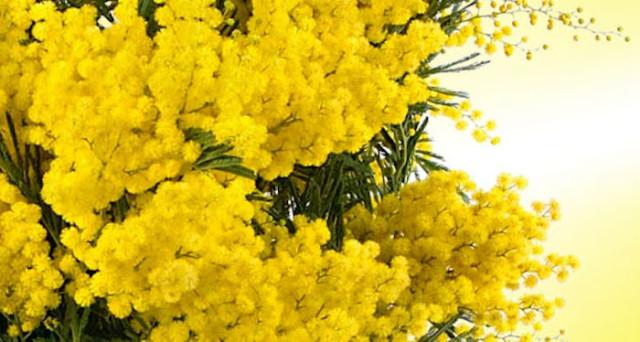 Perché l 8 marzo è una festa e la mimosa è il simbolo  Un 40f55c48ed72