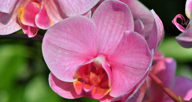 Ecco i benefici di tenere un'orchidea in caso o in ufficio secondo il Feng Shui.