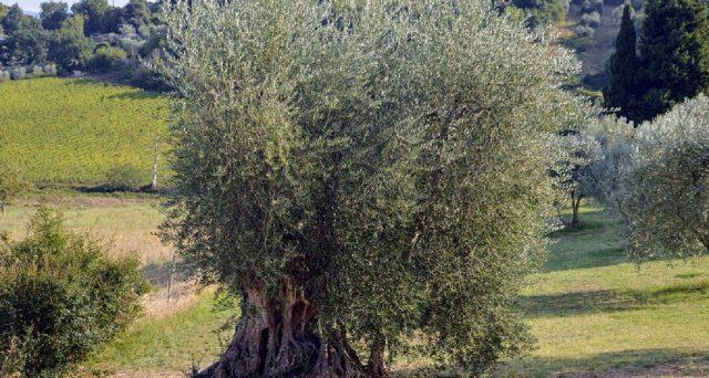 """Una ricerca italiana  pubblicata anche sulla rivista """"Plant Physiology and Biochemistry"""" spiega che gli ulivi sarebbero in grado di sopportare anche l'irrigazione con l'acqua salata: le info."""