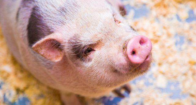 In Asia di recente sono morti moltissimi maiali per colpa dell'epidemia di peste africana detta anche Psa. Ecco le info e la situazione in Europa e in Italia.