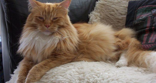 Trovato il vaccino che elimina le allergie al pelo di gatto, viene somministrato al felino stesso.