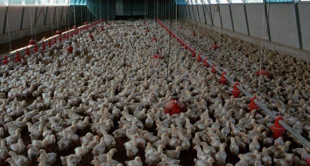 Salmonella e polli, l'incubo ritorna anche in Europa grazie ai controlli blandi del Brasile.
