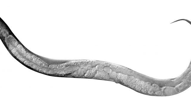 Una nuova e singolare scoperta scientifica: 500 anni di vita grazie a un verme.