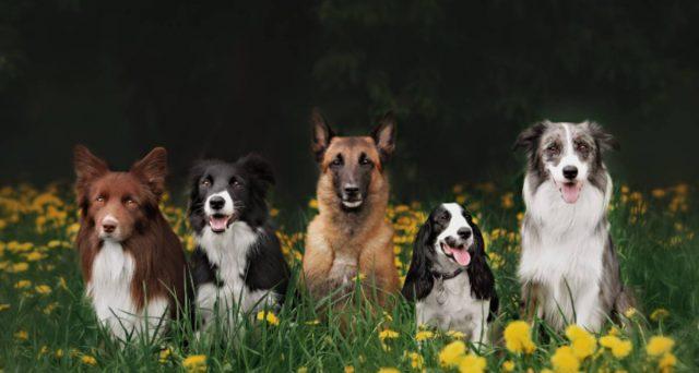 Le 5 razze canine più intelligenti: dal Barboncino al Pastore Tedesco