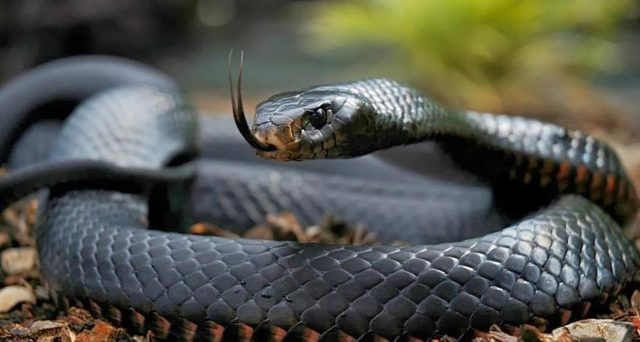 La classifica dei serpenti più costosi.