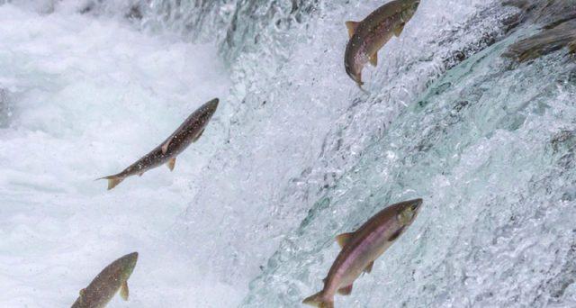 Allevamenti intensivi salmoni